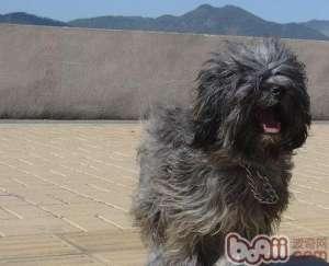 西藏梗的饲养要点-成犬饲养